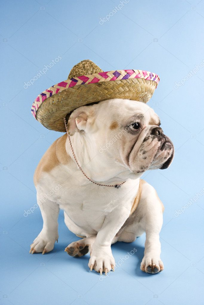 English Bulldog wearing sombrero on blue background looking off to the side. — Stock Photo #9365276