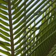 Stock Photo: Palm frond.