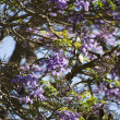 Jacaranda tree in Maui, Hawaii. — Stock Photo