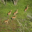 Spotted deer aerial. - Stock Photo