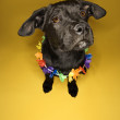 Black puppy wearing lei. — Stock Photo
