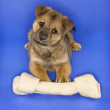 Puppy with large bone. - Stock Photo