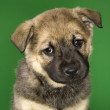 Mixed breed puppy. — Stock Photo #9425607