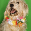 Dog sitting wearing lei. — Stock Photo