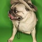 Pug dog wearing safari outfit. — Stock Photo #9425687