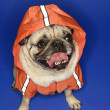 Pug wearing hoodie jacket. — Stock Photo