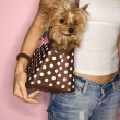 Woman with dog in bag. - Stock Photo