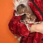 Man holding Chinese Crested dog. — Stock Photo