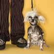 Chinese Crested dog with man. — Stock Photo