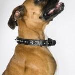 Boxer dog portrait. — Stock Photo