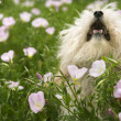 Royalty-Free Stock Photo: Fluffy small dog in flower field.