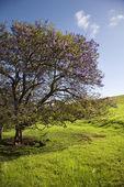 Jacaranda tree in Maui, Hawaii. — Stock Photo