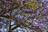 Jacaranda tree in Maui, Hawaii — Stock Photo
