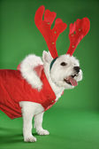 White terrier dog wearing antlers. — Stock Photo