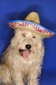 Dog wearing sombrero. — Stock Photo