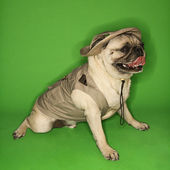 Pug dog wearing safari outfit. — Stock Photo