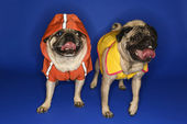 Pugs wearing jackets. — Stock Photo