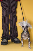 Chinese Crested dog on leash with man. — Stock Photo