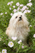 Fluffy small dog in flower field. — Stock Photo
