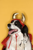 Border Collie in Devil costume. — Stock Photo