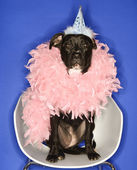 Dog in party hat and feather boa. — Stock Photo
