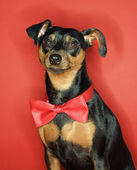 Miniature Pinscher dog with bowtie. — Stock Photo