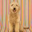 Goldendoodle dog on striped background. - Foto Stock