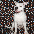 White dog against polka dots. — Stock Photo