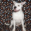 White dog against polka dots. - Stock Photo