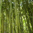 Stock Photo: Bamboo Stalks