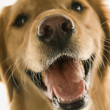 Stock Photo: Golden Retriever dog closeup.