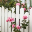 Stock Photo: Rose bush over white picket fence.