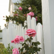 Pink roses growing by picket fence. — Stock Photo #9435461