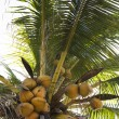 Coconut tree full of coconuts. — Stock Photo
