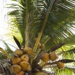 Coconut tree full of coconuts. — Stock Photo