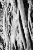 Banyan tree roots. — Stock Photo