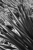 Black and white of yucca plant. — Stock Photo