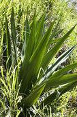 Closeup of yucca plant. — Stock Photo