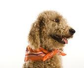 Goldendoodle hund bär bandana. — Stockfoto