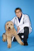 Erkek veteriner goldendoodle köpek ile. — Stok fotoğraf