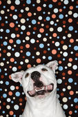 Dog against polka dot background. — Stock Photo