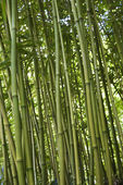 Green bamboo forest in Maui. — Stock Photo