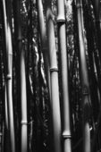 Bamboo stalks in Maui, Hawaii. — Stock Photo