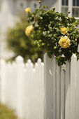 Picket fence with rose bush. — Stock Photo