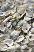 Pile of oyster shells. — Stock Photo