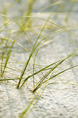 Beach grass on Bald Head Island. — Stock Photo