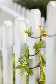 Vine growing on white picket fence. — Stock Photo