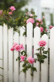 Rose bush over white picket fence. — Stock Photo
