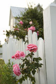 Pink roses growing by picket fence. — Stock Photo