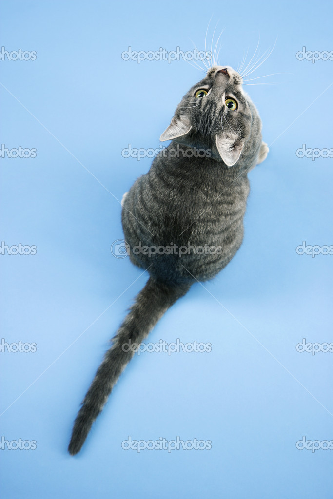 High angle view of gray striped cat looking up. — Stok fotoğraf #9431727